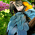 Blue And Gold Macaw by Frank Townsley