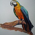 Blue And Gold Macaw by John Cecil Smith