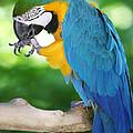 Blue-and-gold Macaw by John Zawacki