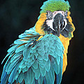 Blue And Gold Macaw by Larry Allan