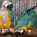 Blue And Gold Macaw Pair by Steven Natanson
