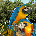 Blue And Gold Macaws by Methune Hively
