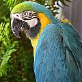 Blue And Yellow Macaw by Debbie Portwood