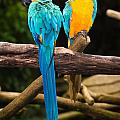 Blue-and-yellow Macaw  by Johan Larson