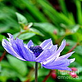 Blue Anemone by Tanya  Searcy