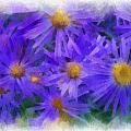 Blue Asters - Watercolor by Charles Muhle