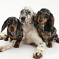 Blue Belton Setter And Dachshund Pups by Mark Taylor