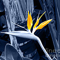 Blue Bird Of Paradise by Rebecca Margraf