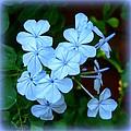 Blue Blossoms by Carla Parris