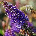 Blue Brush Bloom by Tikvah's Hope