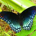 Blue Butterfly I by Sheri McLeroy