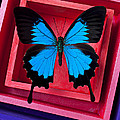 Blue Butterfly In Pink Box by Garry Gay