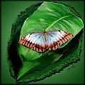 Blue Butterfly by Jeffrey Graves