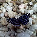 Blue Butterfly On The Rocks by Chad and Stacey Hall