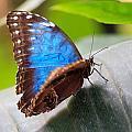 Blue Butterfly by Tilen Hrovatic