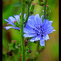 Blue Chicory Flower by Susanne Still