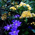 Blue Clematis With Yellow Lady Banks Rose by Renee Trenholm