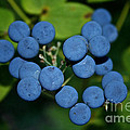 Blue Cohosh by Susan Herber
