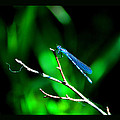 Blue Damsel by Susanne Still