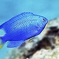 Blue Damselfish by Georgette Douwma