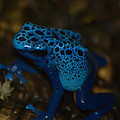 Blue Dart Frog by Trish Tritz