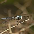 Blue Dasher 8769 by Michael Peychich