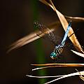 Blue Dasher Dragonfly by Ed Gleichman