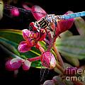 Blue Dasher Dragonfly by Judi Bagwell