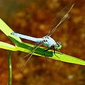 Blue Dasher Dragonfly by Laurel Talabere