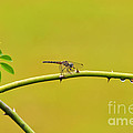 Blue Dasher Female by Al Powell Photography USA