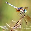 Blue Dasher On Twig by Carol Groenen