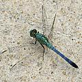 Blue Dragonfly by Michele Caporaso