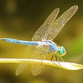 Blue Dragonfly by Michelle Cassella
