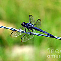Blue Dragonfly On Barb Wire by Kathy  White