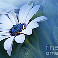 Blue Eyed African Daisy by Betty LaRue