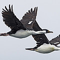 Blue-eyed Cormorant Phalacrocorax by Ingo Arndt