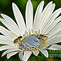 Blue Eyed Daisy And Guests by Byron Varvarigos