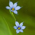 Blue-eyed Grass Wildflower - Sisyrinchium Angustifolium by Kathy Clark
