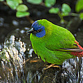 Blue Faced Parrot Finch by Cheryl Cencich