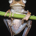 Blue-flanked Tree Frog by Dante Fenolio