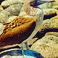 Blue-footed Booby by Diana Cox
