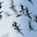 Blue-footed Booby Sula Nebouxii Flock by Winfried Wisniewski