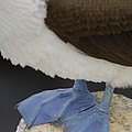 Blue-footed Booby Sula Nebouxii by Pete Oxford
