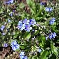 Blue Forget Me Not by Corinne Elizabeth Cowherd