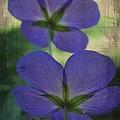 Blue Geranium by Irina Hays