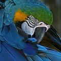 Blue-gold Macaw Parrot by John Zawacki