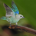 Blue-gray Tanager by Tony Beck
