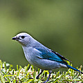 Blue-grey-tanager by Heiko Koehrer-Wagner