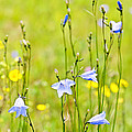 Blue Harebells Wildflowers by Elena Elisseeva