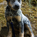 Blue Heeler Pup by Tyra  OBryant